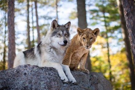 Wolf and Lion